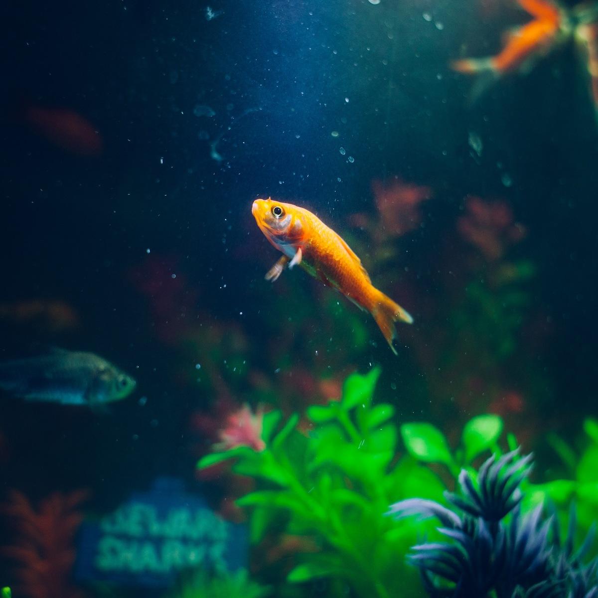 goldfish-animal-fish-pet-72288